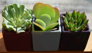 Three small potted plants in a row