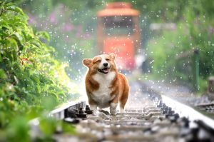 A corgi dog smiling in the rain