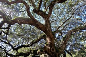 An ancient tree that is living in South Carolina